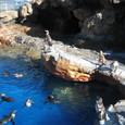 フンボルトペンギン(2)
